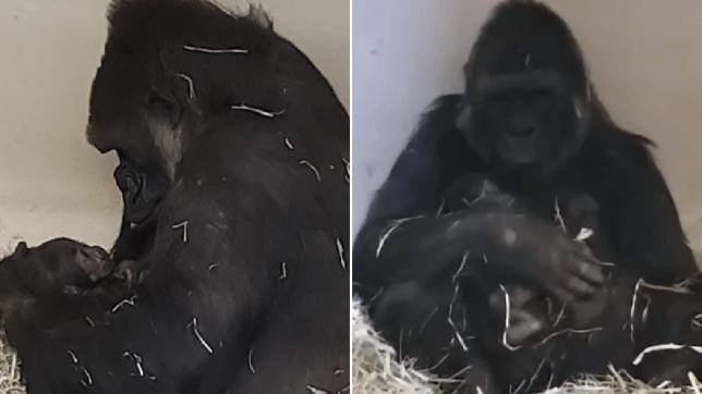 Side-by-side photos of N'dija the gorilla cradling her newborn baby