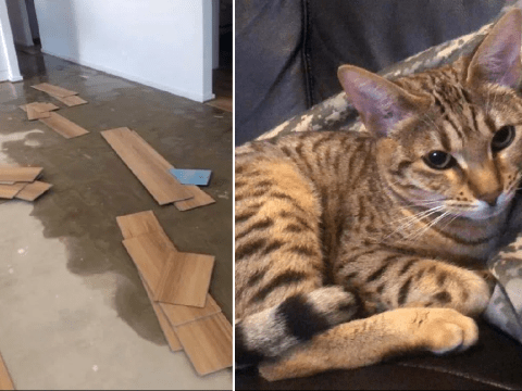Naughty cat causes over £15,000 worth of damage in owners' house, clearly feels no remorse