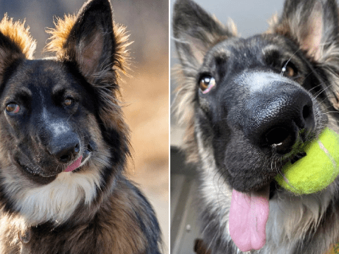 Dog with a wonky face finds loving home and trains as a therapy dog to help others
