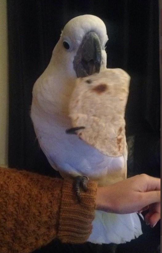 Parrot eating roti
