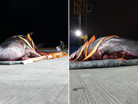 Whale stranded in Thames Estuary died on an empty stomach