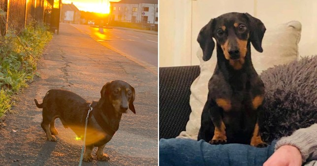 Two pictures of Frank the daschund, from Colchester, Essex, who snuck onto a bus alone and took an 18-mile trip to Clacton-on-Sea