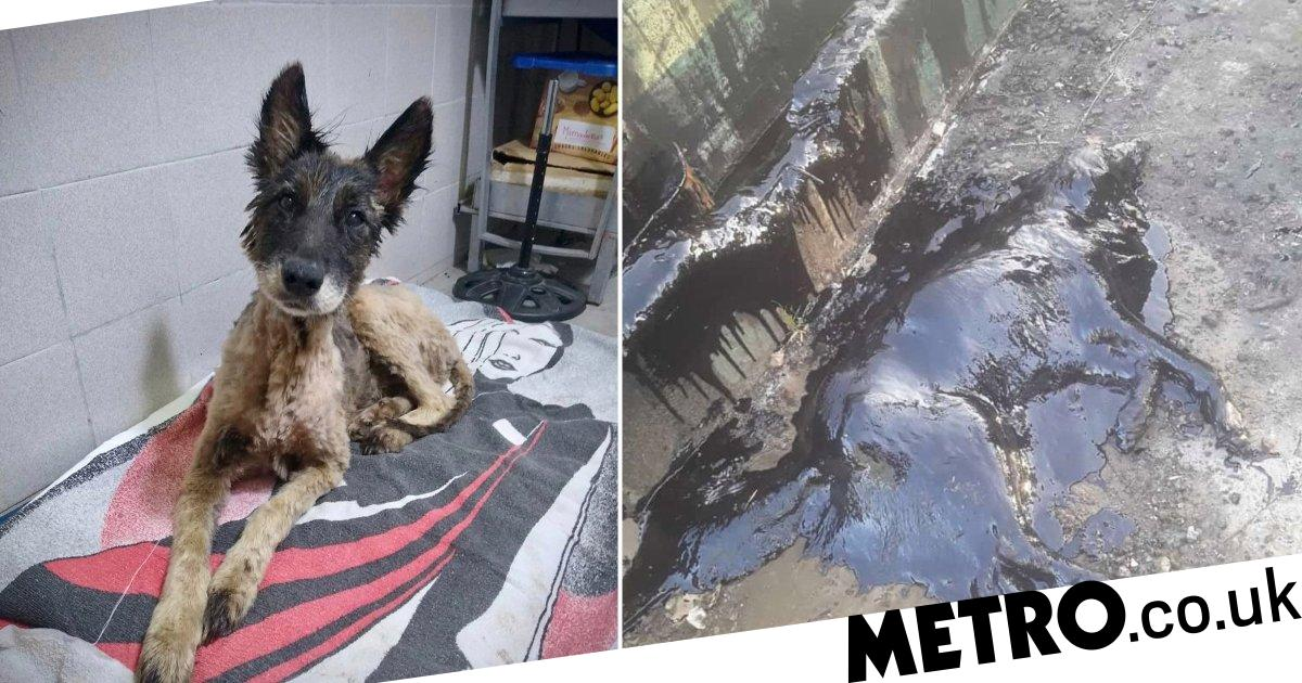 Dog saved from tar pit after other strays bark to get help from humans
