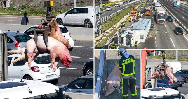 A crane lifts pigs after a truck carrying 170 pigs overturned