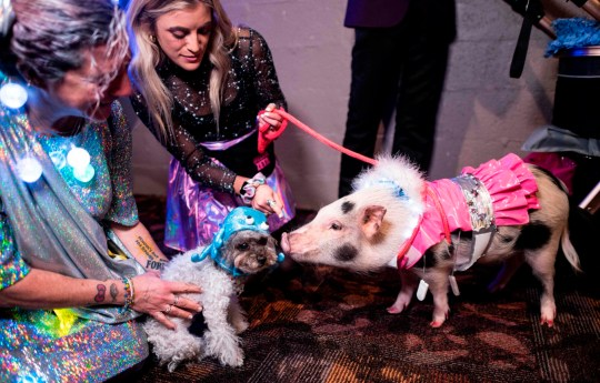 A dog and a pig, dressed up for a show, interact at the 17th annual New York Pet Fashion Show