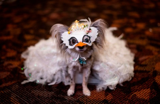 A dog dressed in a white mask and costume including a large white skirt for the 17th annual New York Pet Fashion Show