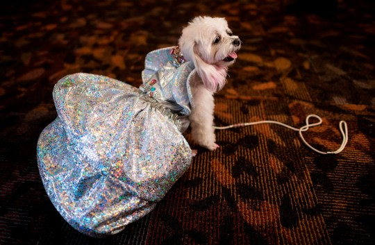 A dog dressed in a silver sparkling outfit