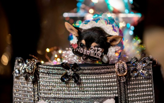 A dog dressed wearing glasses and dressed in costume waits backstage for the 17th annual New York Pet Fashion Show