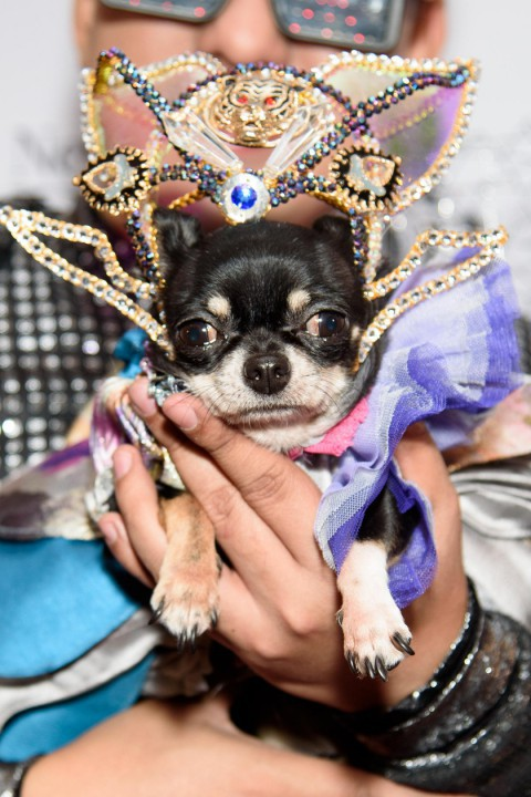 A close-up of a chihuahua wearing a gown and sparkling crown at the New York Pet Fashion Show