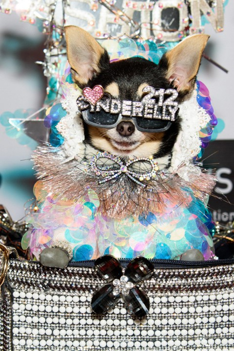 A dog wearing sunglasses that say 'cinderbelly 212'