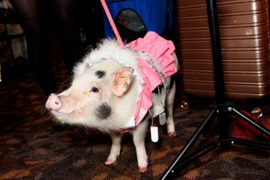 A pig wearing a pink dress