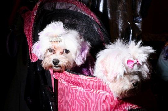 Two cute white dogs sitting in a pink bag