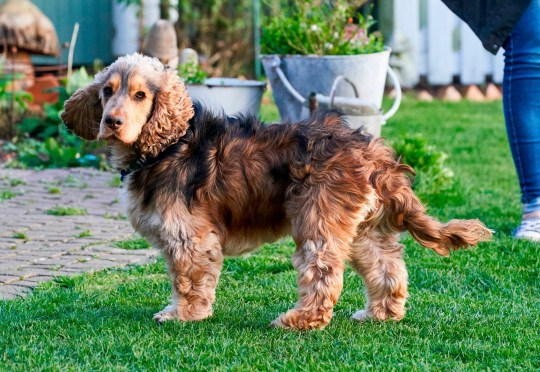 This pesky Cocker Spaniel has been dubbed Houndini after escaping from his family home over 200 times.