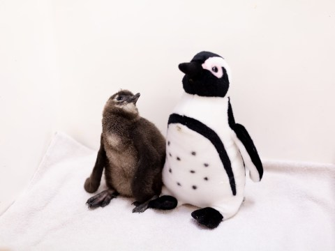 Penguin chick learns to communicate with the help of a speaker disguised as a bird