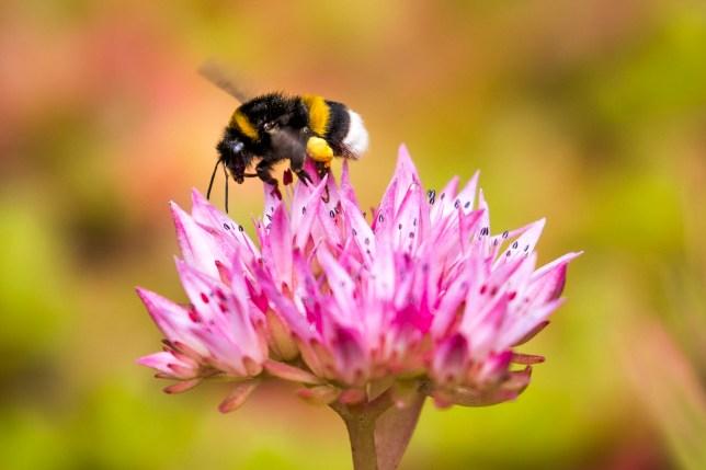 A bumblebee on a flowe