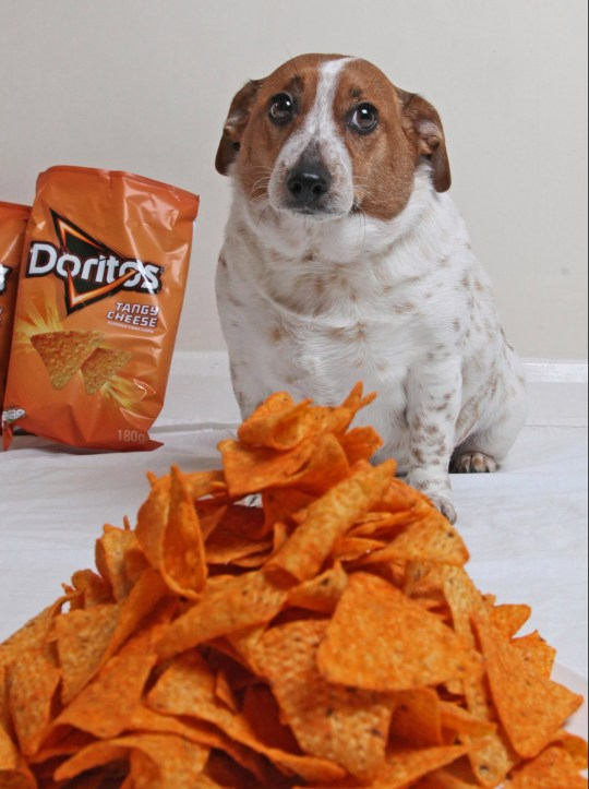 Skylar the Jack Russel infront of a pyramid of his favourite snack Tangy Cheese Doritos