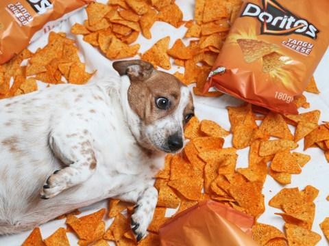Dog weighs twice what she should thanks to love of cheesy crisps