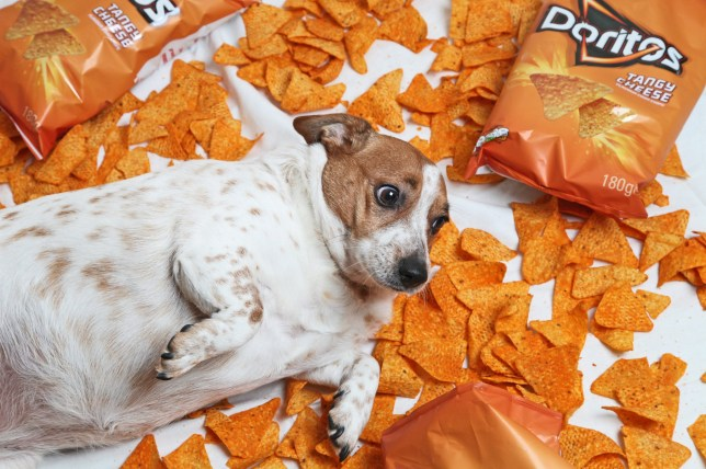 skylar the Jack Russel lays surrounded by his favourite snack Tangy Cheese Doritos