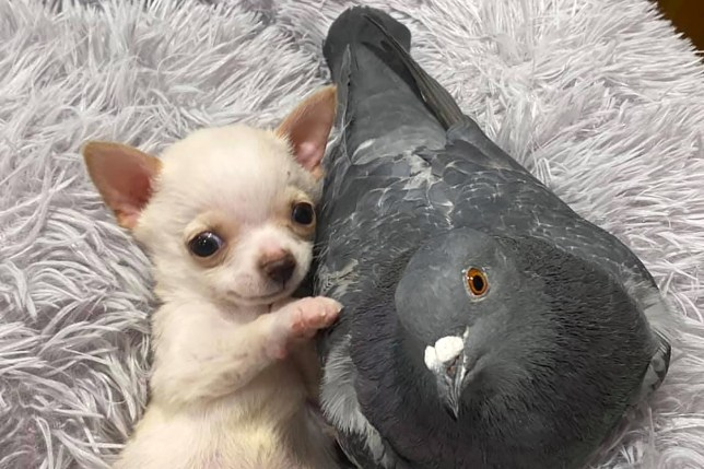 wo month old Chihuahua puppy Lundy enjoying play time with Herman the pigeon