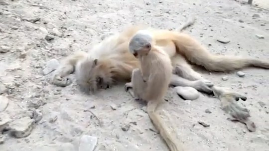 Story from Jam Press (Baby Monkey Grief) // Pictured: The baby monkey tries in vain to wake it???s dead mother. // TAIL OF WOE: Sad film emerges of baby monkey trying to wake up its dead mummy // A tragic short video has surfaced of a cute baby Golden Langur monkey in India grieving its mother???s corpse ??? and even trying in vain to wake her up. Reports indicate the clip was shot on February 12, at around 3pm, by the Kakoijana reserved forest near the city of Bongaigaon, Assam. The baby Langur ??? a golden-haired Old World money which is indigenous to Assam and some parts of neighbouring Bhutan ??? is seen nuzzling its head tragically against the sill flanks of its recently deceased parent. Golden Langurs are noted for their black faces and extremely long tail, measuring up to 50cm in length. It has been observed that their fur changes colours according to the seasons. The species, which typically prefers to live high up in the trees, is said to be endangered, with only 6,000 individuals remaining in the wild. Later in the clip two humans take the baby monkey's mummy away, presumably in order to give her a decent burial. The mother, reportedly, died due to electrocution. ENDS