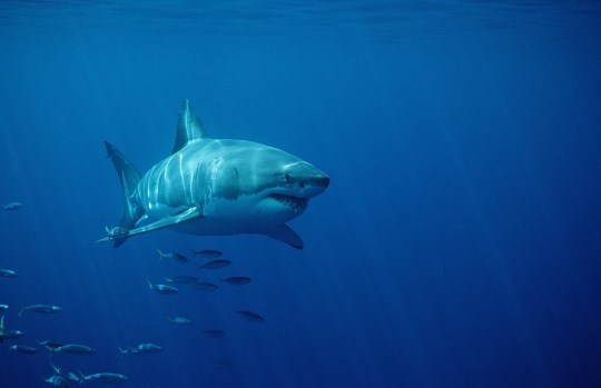 Mandatory Credit: Photo by Online/REX (1131088a) Great White Shark (Carcharodon carcharias) and school of fish Dyer Island Gansbaai Republic of South Africa VARIOUS
