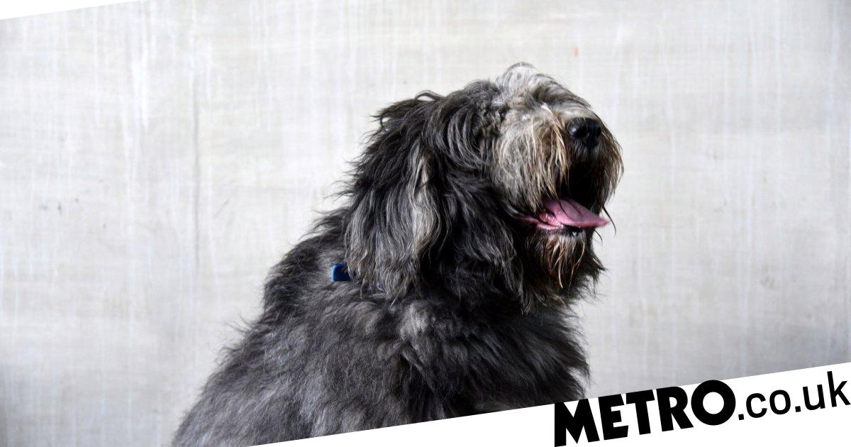 Neglected sheepdog with 1.8kg of matted fur gets a much-needed haircut