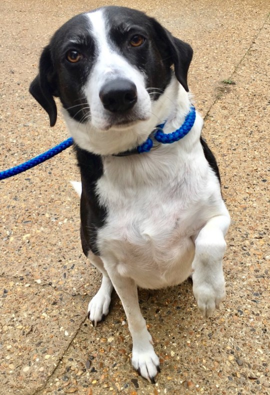 Bess, a black and white Collie, Britains loneliest dog who has been in Last Chance Animal Rescue in Edenbridge, Kent for 10 years