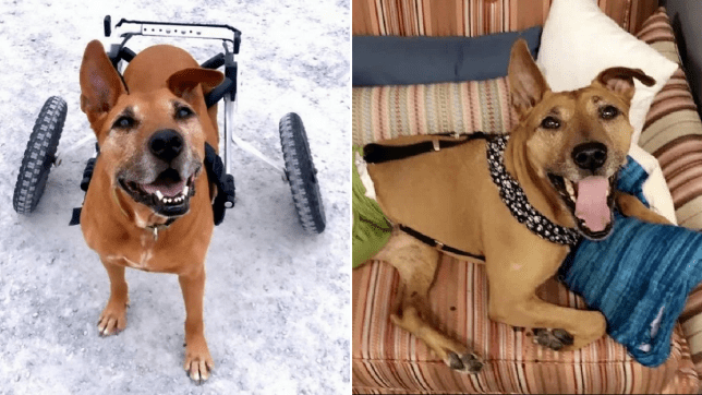 Split image of Juniper the dog, seen with her wheels in the first photo and lying on the sofa in the other