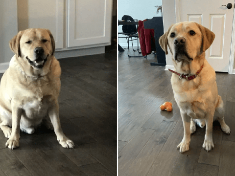 Formerly obese Labrador doesn't look too happy with his weight loss