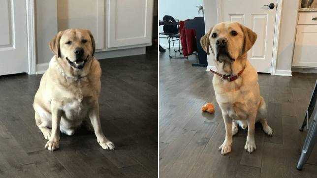 labrador miller doesn't look pleased with his weight loss