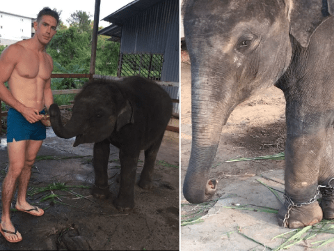 Baby elephant's legs chained together 'when it's not forced to beg for money'