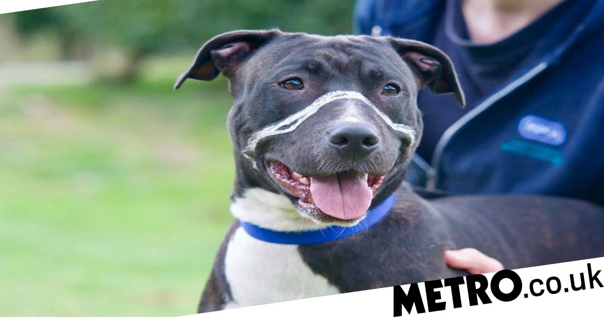 Dog left with scars due to a too-tight muzzle finds a forever home