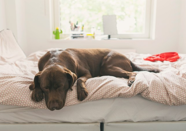 Brown dog lying on a bed