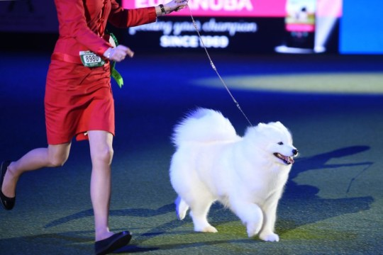 a japanese spitz at crufts 2019