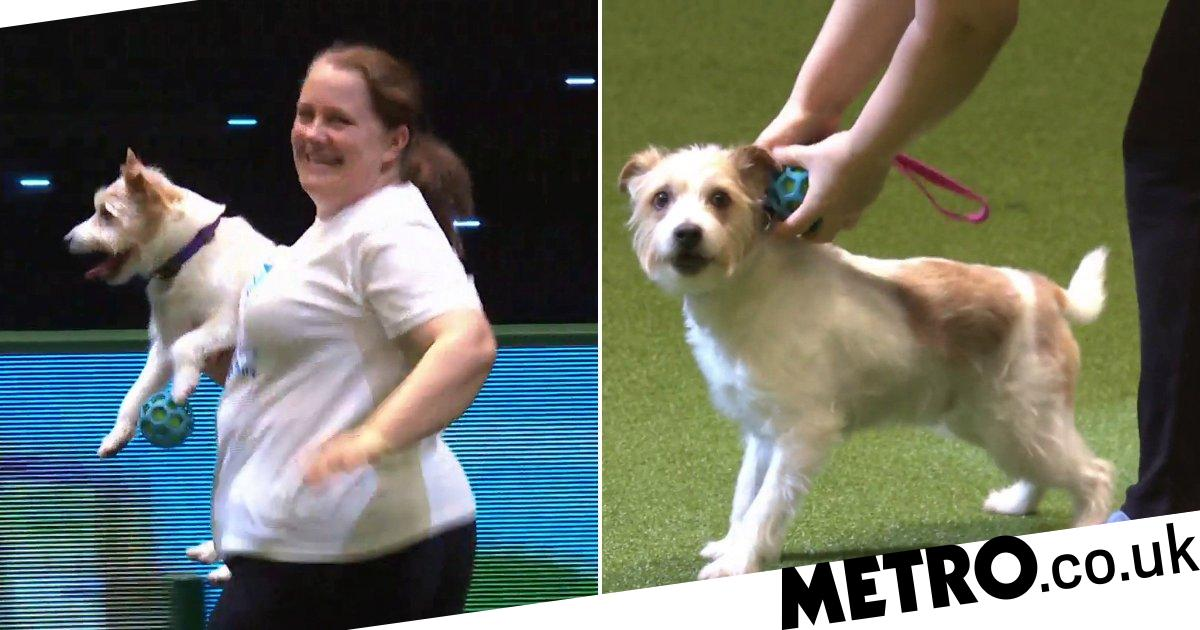 Lovable rescue dog and viral sensation, Olly the jack russell, returns to Crufts for final time