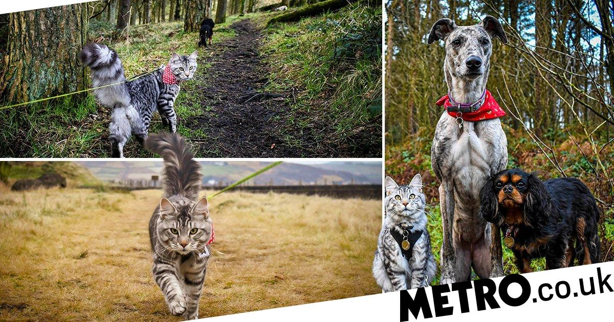 Adventure cat loves nothing better than hiking with his canine chums
