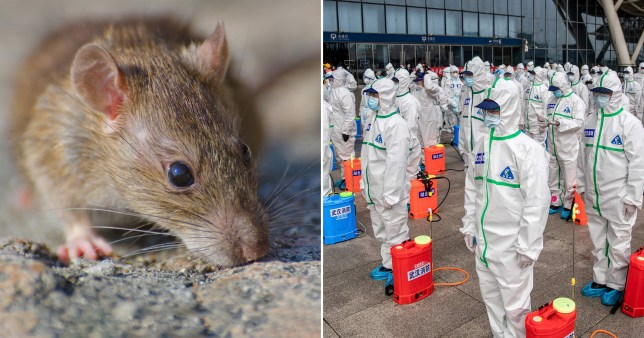 Rat (left) and Chinese authorities in protective suits amid coronavirus outbreak