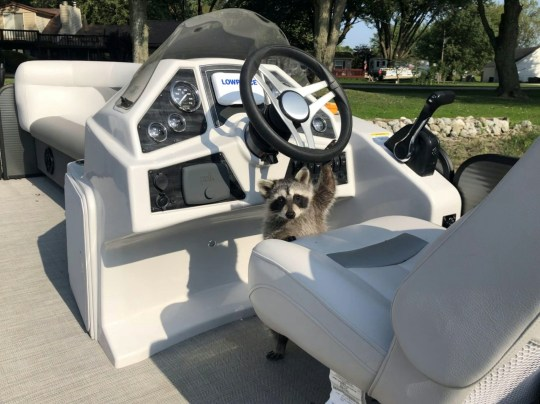 Meet Rebel - the pet raccoon who rides in a boat, uses a litter box and is best friends with a golden retriever. See SWNS story SWNYraccoon. ?For most people, a raccoon is not a good pet,? said Rebel?s owner, Caryn Williamson, 44, who lives in Hudson, Indiana. ?They require constant supervision and they are so much more intelligent than a dog or cat. ?They can literally unlock your front door and walk right out.?