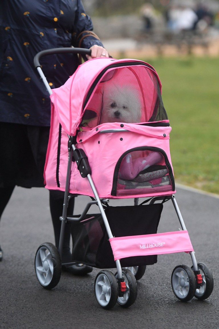 A dog in a pet travel stroller arrives at the Birmingham National Exhibition Centre (NEC) for the first day of the Crufts Dog Show. PA Photo. Picture date: Thursday March 5, 2020. See PA story ANIMALS Crufts. Photo credit should read: Joe Giddens/PA Wire