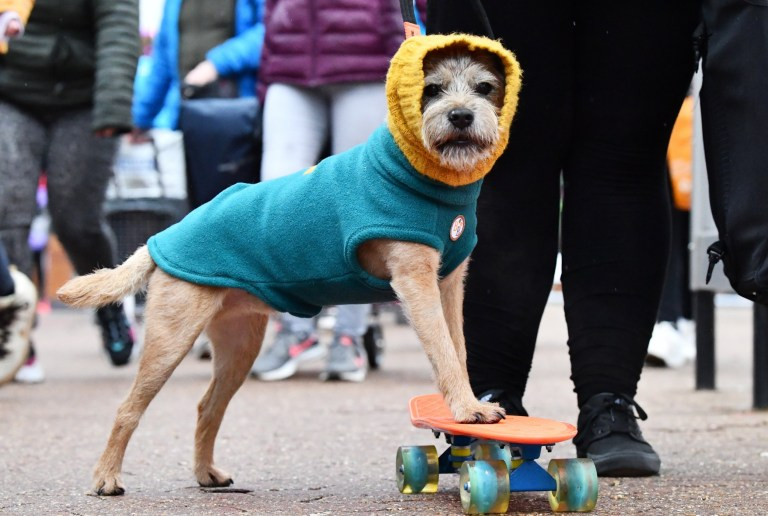 BIRMINGHAM, ENGLAND - MARCH 05: A skateboarding Terrier arrives for day one of Crufts 2020 at National Exhibition Centre on March 5, 2020 in Birmingham, England. (Photo by Jeff J Mitchell/Getty Images)