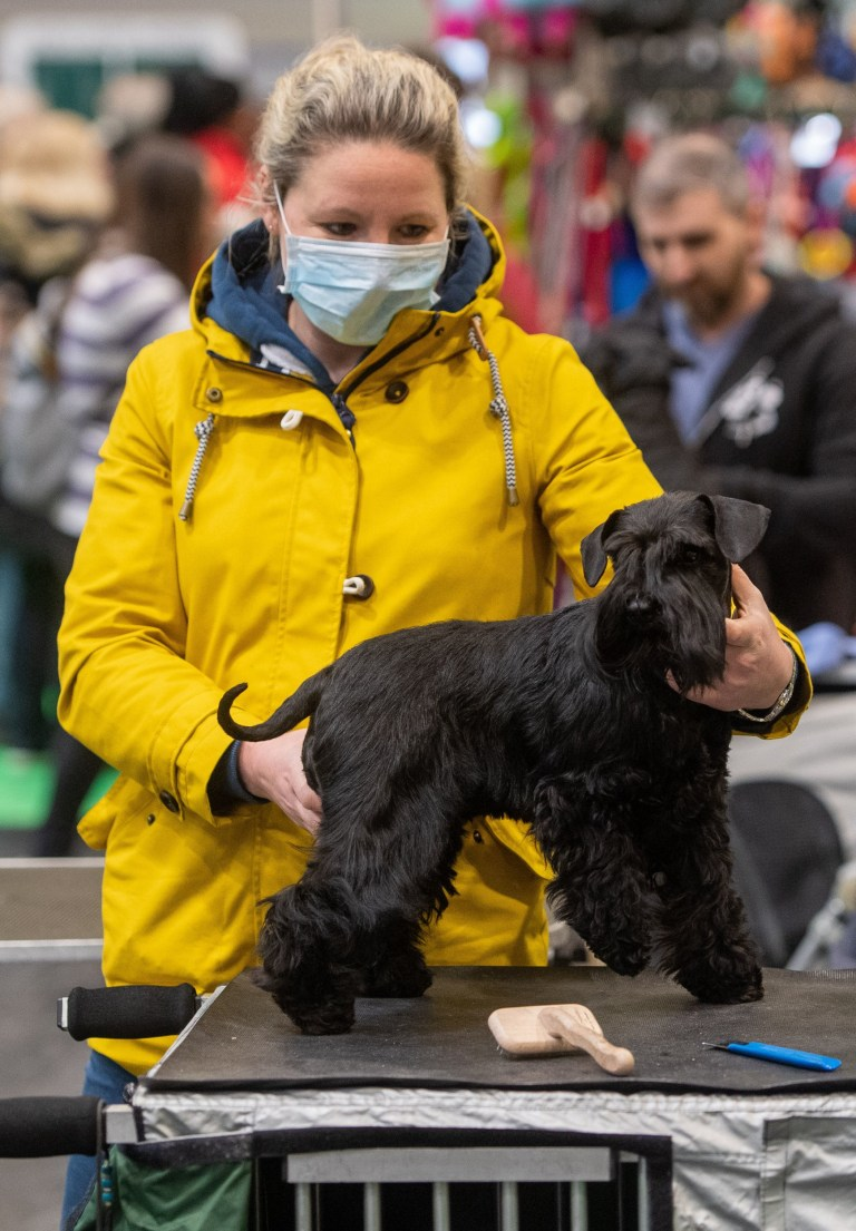 A woman wears a face mask whilst grooming her Miniature Schnauzer at the Birmingham National Exhibition Centre (NEC) for the first day of the Crufts Dog Show. PA Photo. Picture date: Thursday March 5, 2020. See PA story ANIMALS Crufts. Photo credit should read: Joe Giddens/PA Wire