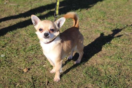 Chihuahua duo
