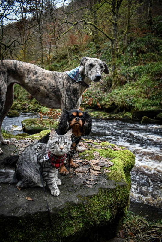 PIC BY @the.good.cat/MERCURY PRESS (PICTURED ARLO LEXI AND CALLIE) A cat that loves nothing more than going on hour-long dog walks with his canine pals leaves onlookers stunned as he takes on mountainous terrain on a lead. Maine Coon-Tabby cross, Arlo, is just nine months old but has been trekking around the countryside in his hometown of Halifax, West Yorks, since he was a kitten. His owners, Crissy Lister, 29, and Marc Shaw, 31, first discovered his love of the outdoors when they took him to Scafell Pike, in August last year, and have even set up an Instagram page for the fearless feline who joins their dogs, Lexi, a two year old Lurcher and Callie, a three year old Cavalier on their adventures across some of the countys most beautiful scenes. SEE MERCURY COPY.