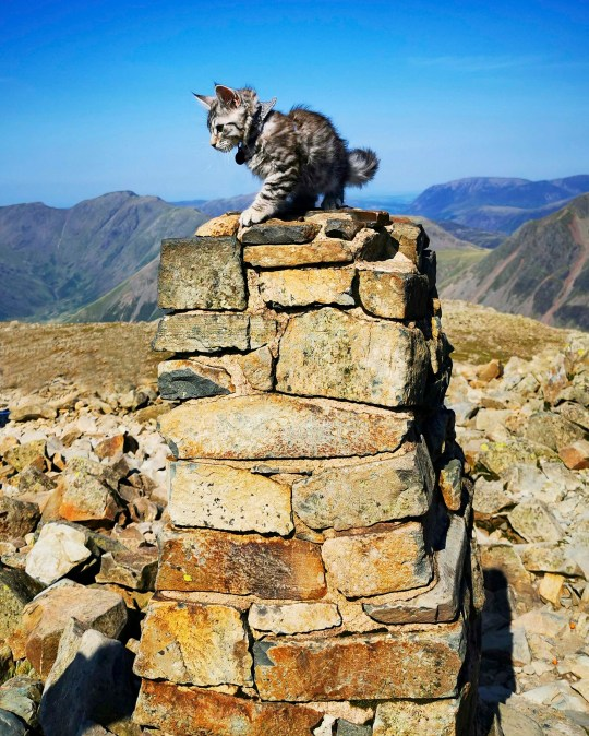 PIC BY @the.good.cat/MERCURY PRESS (PICTURED ARLO ON HIS FIRST EVER WALK UP SCAFELL PIKE.) A cat that loves nothing more than going on hour-long dog walks with his canine pals leaves onlookers stunned as he takes on mountainous terrain on a lead. Maine Coon-Tabby cross, Arlo, is just nine months old but has been trekking around the countryside in his hometown of Halifax, West Yorks, since he was a kitten. His owners, Crissy Lister, 29, and Marc Shaw, 31, first discovered his love of the outdoors when they took him to Scafell Pike, in August last year, and have even set up an Instagram page for the fearless feline who joins their dogs, Lexi, a two year old Lurcher and Callie, a three year old Cavalier on their adventures across some of the countys most beautiful scenes. SEE MERCURY COPY.