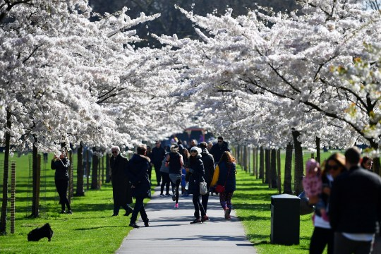 People walk under cherry blossom trees in Battersea Park, as the number of coronavirus disease (COVID-19) cases grow around the world, in London, Britain March 22, 2020. REUTERS/Dylan Martinez