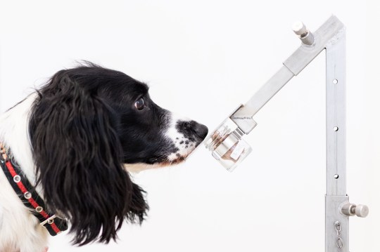 a medical detection dog in training