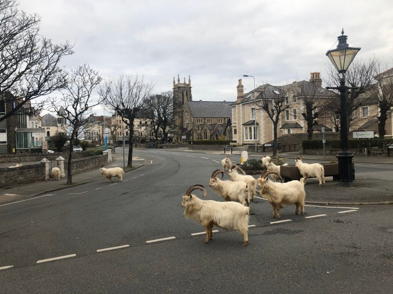 Handout photo dated 30/03/20 taken with permission from the Twitter feed of @AndrewStuart of the goats which have taken over the deserted streets of Llandudno, north Wales, where the residents are in lockdown during the coronavirus pandemic. PA Photo. Issue date: Tuesday March 31, 2020. See PA story SOCIAL Goats. Photo credit should read: Andrew Stuart/PA Wire NOTE TO EDITORS: This handout photo may only be used in for editorial reporting purposes for the contemporaneous illustration of events, things or the people in the image or facts mentioned in the caption. Reuse of the picture may require further permission from the copyright holder.