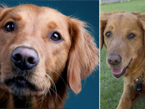 This dog is giving virtual therapy sessions to help medical workers