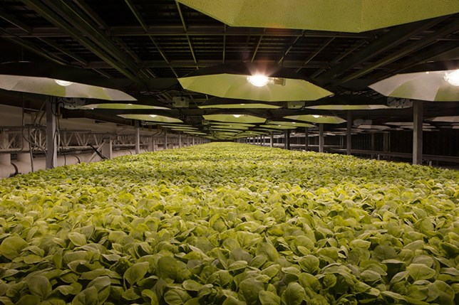 BAT working on potential COVID-19 vaccine through US bio-tech subsidiary Tobacco plants being cultivated for vaccine development at our KBP facilities.