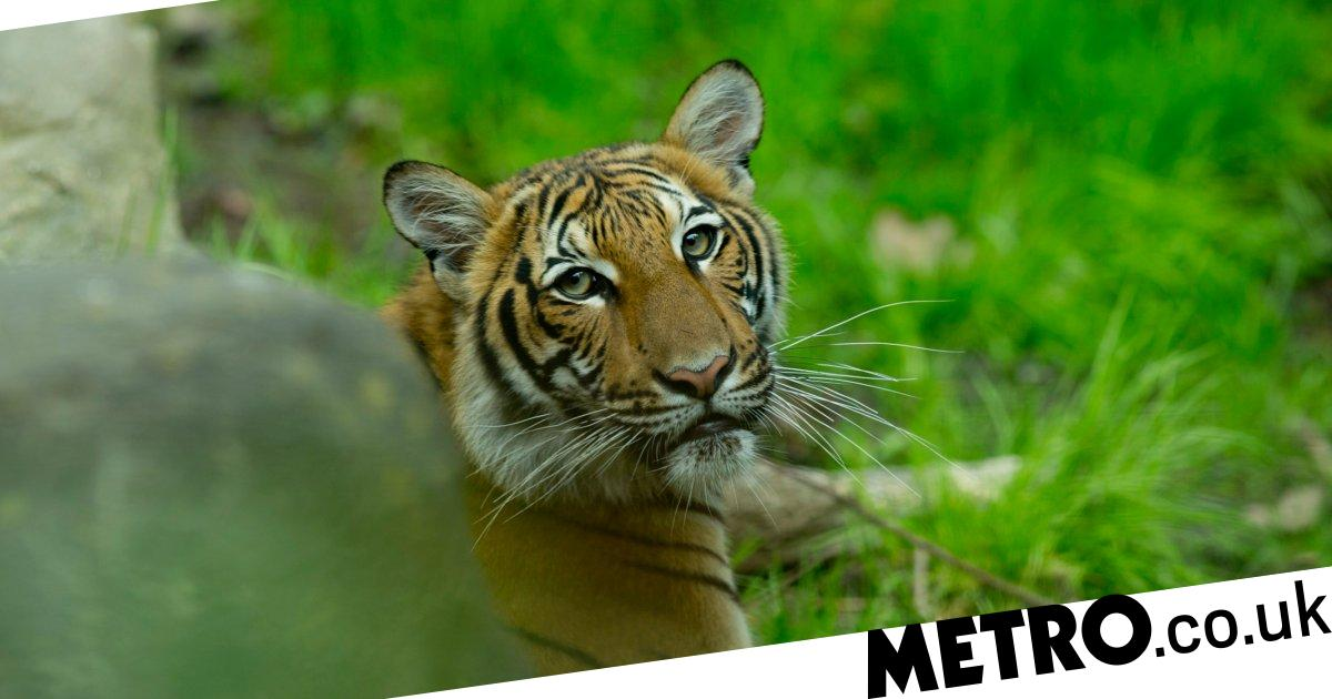 Can animals get coronavirus as tiger tests positive at NYC zoo?
